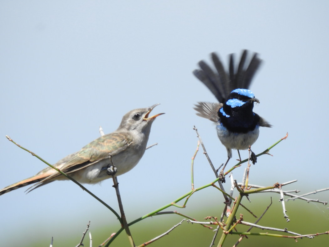 Foster dad (Superb Fairy-Wren) feeding a juvenile cuckoo